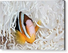 A Clarks Anemonefish Swims Among Acrylic Print