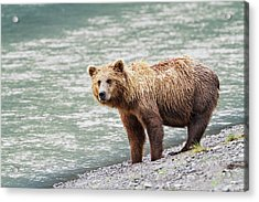 A Coastal Brown Bear Sow Stands On A Acrylic Print