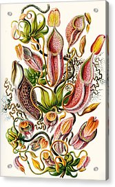 A Collection Of Nepenthaceae Acrylic Print by Ernst Haeckel