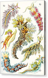 A Collection Of Nudibranchia Acrylic Print by Ernst Haeckel