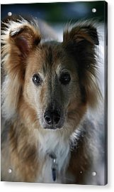 A Collie And Golden Retriever Mix Dog Acrylic Print by Al Petteway & Amy White