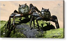 A Couple Of Crabs Brazil Acrylic Print by Bob Christopher