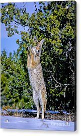 A Coyote Stands To Eat Acrylic Print