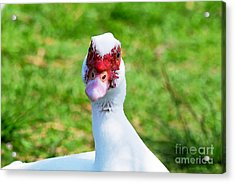 Acrylic Print featuring the photograph A Curious Muscovy Duck  by Susan Wiedmann