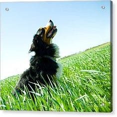 A Cute Dog On The Field Acrylic Print by Michal Bednarek