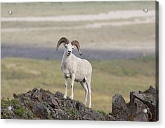 A Dall Sheep Ram Poses On Marmot Rock Acrylic Print by Hugh Rose