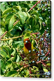 A Day With Mr. Tanager 2 Acrylic Print by Jacquelyn Roberts