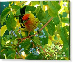 A Day With Mr. Tanager 3 Acrylic Print by Jacquelyn Roberts