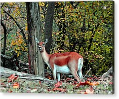 A Deer Look Acrylic Print