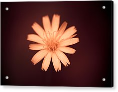 A Delicate Flame Acrylic Print by Shane Holsclaw