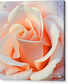 A Delicate Rose Acrylic Print by Cindy Manero