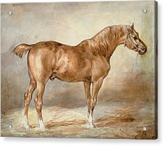 A Docked Chestnut Horse Acrylic Print