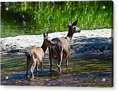 A Doe And Fawn Acrylic Print