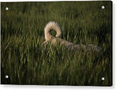 A Dog Walks Through A Wheat Field Acrylic Print