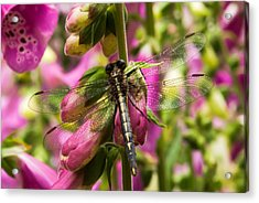A Dragon Fly Resting In A Forest Of Foxgloves Acrylic Print by Thomas Pettengill