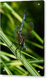 Acrylic Print featuring the photograph A Dragonfly by Raymond Salani III