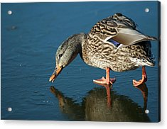 A Duck On Ice The Mallard Is A Dabbling Acrylic Print
