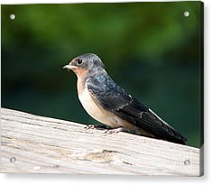 A Female Purple Martin Is Watching You Acrylic Print