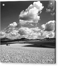 A Field Of Wheat. Limagne. Auvergne. France Acrylic Print by Bernard Jaubert