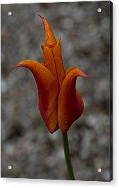 A Flamboyant Flame Tulip In A Pebble Garden Acrylic Print by Georgia Mizuleva