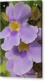 A Flower Blooms In Pedasi On Panama's Acrylic Print by William Sutton