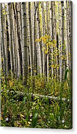 A Forest Of Aspen Acrylic Print by Eric Rundle