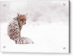 A Red Fox Fantasy Acrylic Print by Roeselien Raimond