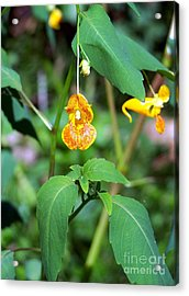Acrylic Print featuring the photograph A Fragile Flower by Chalet Roome-Rigdon