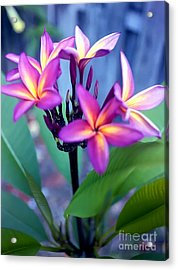 A  Frangipani Tree In Bloom Acrylic Print by Steven Valkenberg