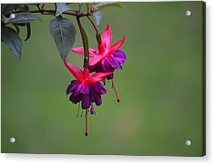A Fuchsia Acrylic Print