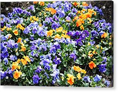 Acrylic Print featuring the photograph A Garden Of Lovely Little Faces by Judy Palkimas