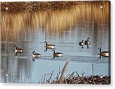 A Geese Gathering Acrylic Print by Bill Kesler