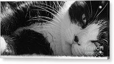 A Gentle Cat - Monochrome Acrylic Print by David Warrington