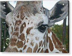 A Giraffe In Close Up Acrylic Print