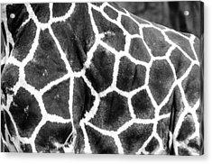 A Giraffe's Maze Acrylic Print