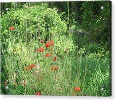 A Glimpse Of Poppies Acrylic Print by Pema Hou
