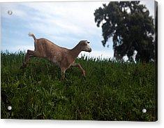 A Goat Walks Near A Monoculture Field Acrylic Print