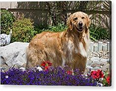 A Golden Retriever Standing In A Garden Acrylic Print