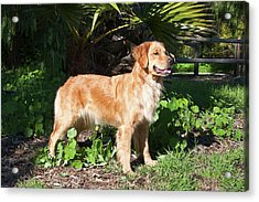 A Golden Retriever Standing In A Park Acrylic Print