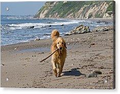 A Golden Retriever Walking With A Stick Acrylic Print