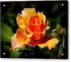 A Golden Rose Acrylic Print by Bishopston Fine Art