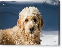 A Goldendoodle Lying In The Snow Bathed Acrylic Print by Zandria Muench Beraldo