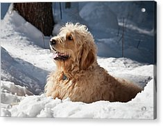 A Goldendoodle Lying In The Snow Acrylic Print by Zandria Muench Beraldo