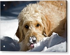 A Goldendoodle With Snow On It's Nose Acrylic Print by Zandria Muench Beraldo