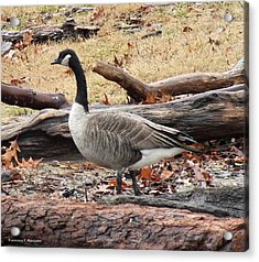 A Goose In Virginia Acrylic Print