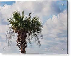 A Great Blue Heron Nests On A Cabbage Palmetto Acrylic Print by Karen Stephenson