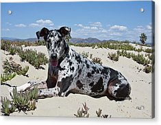 A Great Dane Lying In The Sand Acrylic Print