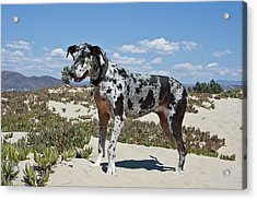 A Great Dane Standing In Sand Acrylic Print