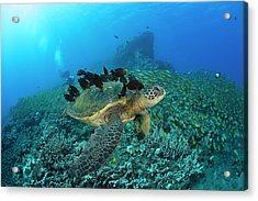 A Green Sea Turtlec  Chelonia Mydas Acrylic Print