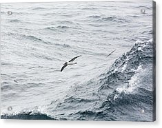 A Grey Headed Albatross Acrylic Print by Ashley Cooper